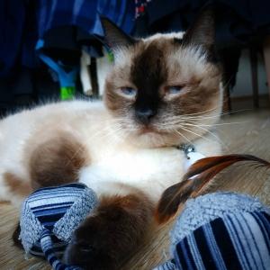 Fifi 1 - Galerie photos de chats par Ô p'tits félins Annecy