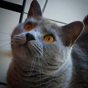 Flechette  - Galerie photos de chats par Ô p'tits félins Annecy