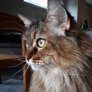 Gaia  - Galerie photos de chats par Ô p'tits félins Annecy