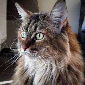 Gaia 1 - Galerie photos de chats par Ô p'tits félins Annecy