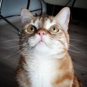 Garfield  - Galerie photos de chats par Ô p'tits félins Annecy