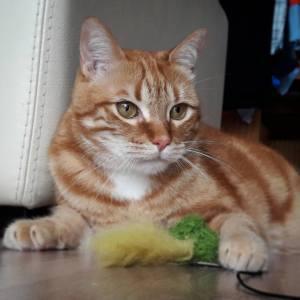 Garfield 1 - Galerie photos de chats par Ô p'tits félins Annecy