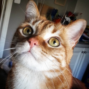 Garfield 2 - Galerie photos de chats par Ô p'tits félins Annecy