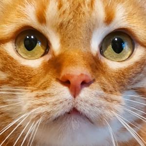Garfield 3 - Galerie photos de chats par Ô p'tits félins Annecy