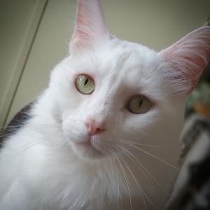 Gary  - Galerie photos de chats par Ô p'tits félins Annecy