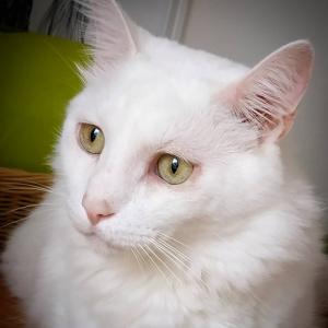 Gary 1 - Galerie photos de chats par Ô p'tits félins Annecy