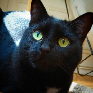 Gribouille  - Galerie photos de chats par Ô p'tits félins Annecy
