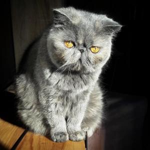 Griotte  - Galerie photos de chats par Ô p'tits félins Annecy