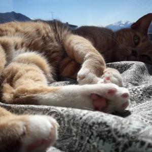 Jean Pierre - Galerie photos de chats par Ô p'tits félins Annecy