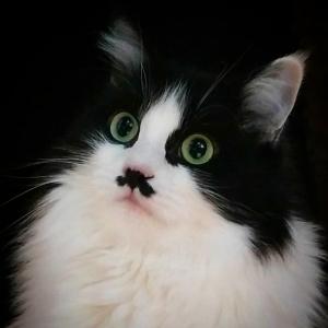 Joke 1 - Galerie photos de chats par Ô p'tits félins Annecy