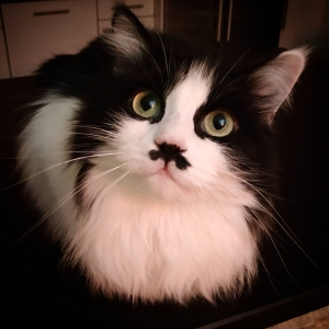 Joke 2 - Galerie photos de chats par Ô p'tits félins Annecy