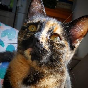 Kate - Galerie photos de chats par Ô p'tits félins Annecy