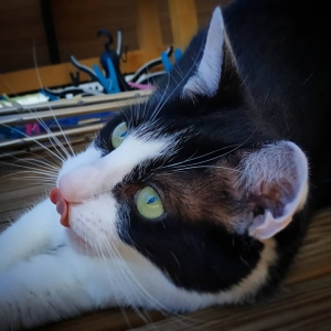 Kazik - Galerie photos de chats par Ô p'tits félins Annecy