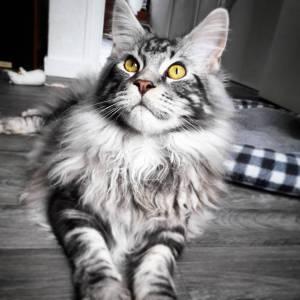 Leon - Galerie photos de chats par Ô p'tits félins Annecy