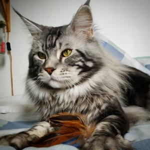 Leon 1 - Galerie photos de chats par Ô p'tits félins Annecy