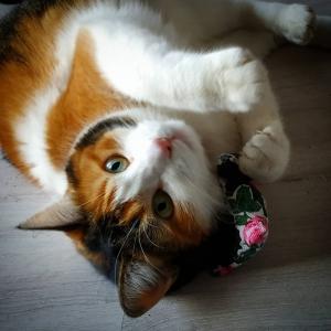 Licha - Galerie photos de chats par Ô p'tits félins Annecy