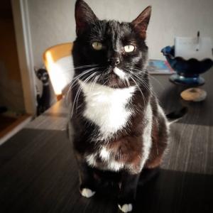 Lilou - Galerie photos de chats par Ô p'tits félins Annecy