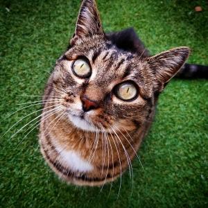 Lily - Galerie photos de chats par Ô p'tits félins Annecy
