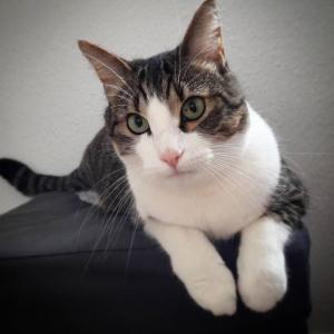 Looping - Galerie photos de chats par Ô p'tits félins Annecy