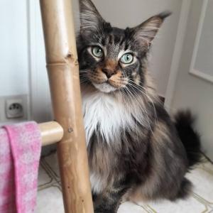 Louki - Galerie photos de chats par Ô p'tits félins Annecy