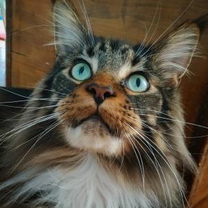 Louki 2 - Galerie photos de chats par Ô p'tits félins Annecy