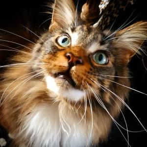 Louki 3 - Galerie photos de chats par Ô p'tits félins Annecy