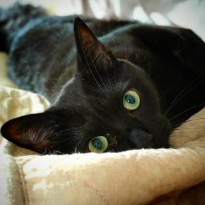Lucky  - Galerie photos de chats par Ô p'tits félins Annecy
