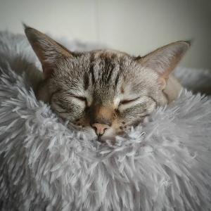 Maya 3 - Galerie photos de chats par Ô p'tits félins Annecy
