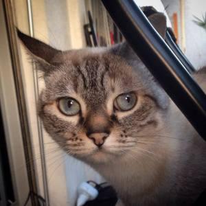 Maya 4 - Galerie photos de chats par Ô p'tits félins Annecy