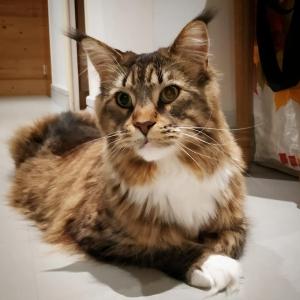 Maya bis - Galerie photos de chats par Ô p'tits félins Annecy