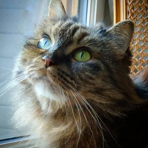 Maya ter - Galerie photos de chats par Ô p'tits félins Annecy