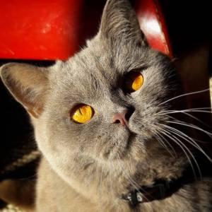 Melchior - Galerie photos de chats par Ô p'tits félins Annecy