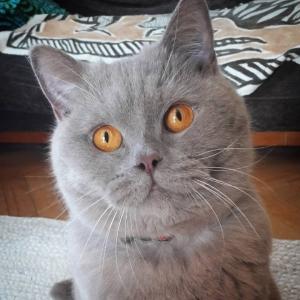 Melchior 3 - Galerie photos de chats par Ô p'tits félins Annecy