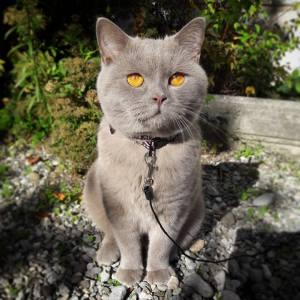 Melchior 4 - Galerie photos de chats par Ô p'tits félins Annecy