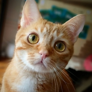 Mignon 1 - Galerie photos de chats par Ô p'tits félins Annecy