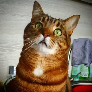 Mimi - Galerie photos de chats par Ô p'tits félins Annecy