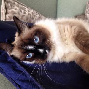 Babou - Galerie photos de chats par Ô p'tits félins Annecy
