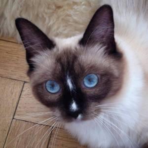 Babou 1 - Galerie photos de chats par Ô p'tits félins Annecy