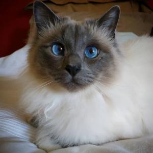 Minou - Galerie photos de chats par Ô p'tits félins Annecy