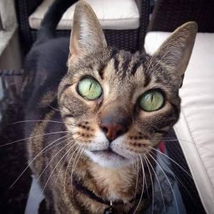 Mira - Galerie photos de chats par Ô p'tits félins Annecy