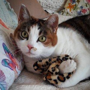 Miss 1 - Galerie photos de chats par Ô p'tits félins Annecy