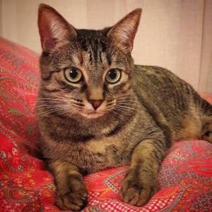 Molly - Galerie photos de chats par Ô p'tits félins Annecy