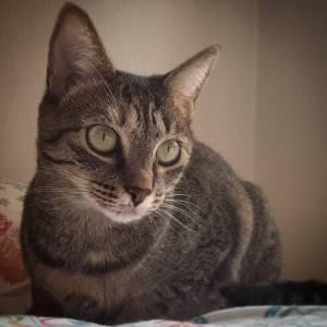 Molly 1 - Galerie photos de chats par Ô p'tits félins Annecy