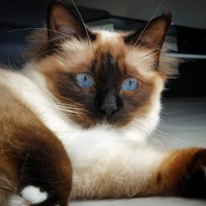 Odessa - Galerie photos de chats par Ô p'tits félins Annecy