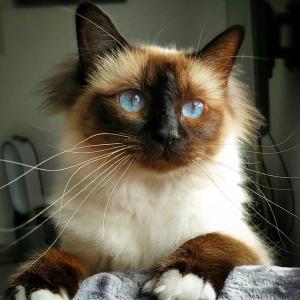 Odessa 1 - Galerie photos de chats par Ô p'tits félins Annecy