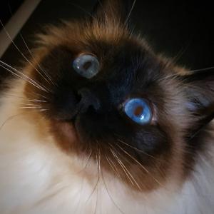 Ocea - Galerie photos de chats par Ô p'tits félins Annecy