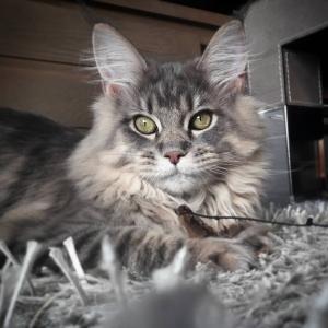 Olympia - Galerie photos de chats par Ô p'tits félins Annecy