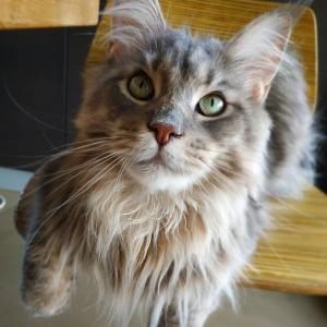 Olympia 1 - Galerie photos de chats par Ô p'tits félins Annecy
