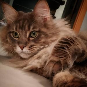 Olympia 2 - Galerie photos de chats par Ô p'tits félins Annecy