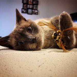 Pacha - Galerie photos de chats par Ô p'tits félins Annecy